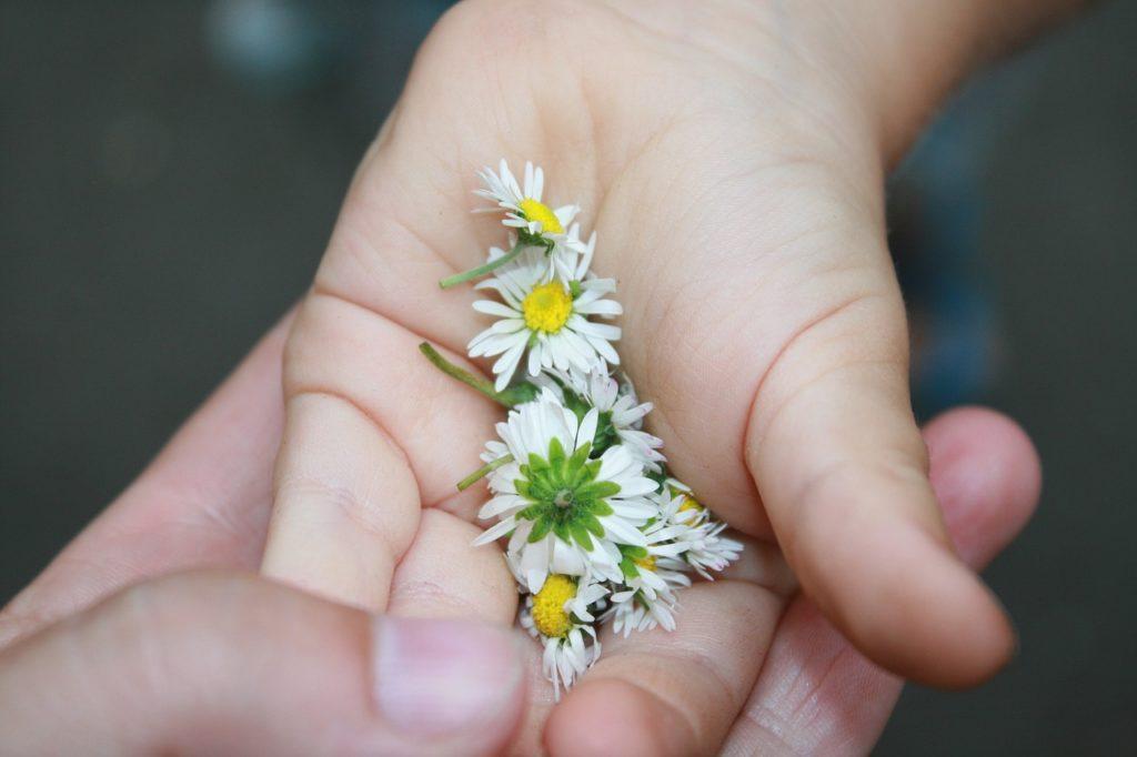 Stokrotki na ręce dziecka trzymanej przez dorosłego