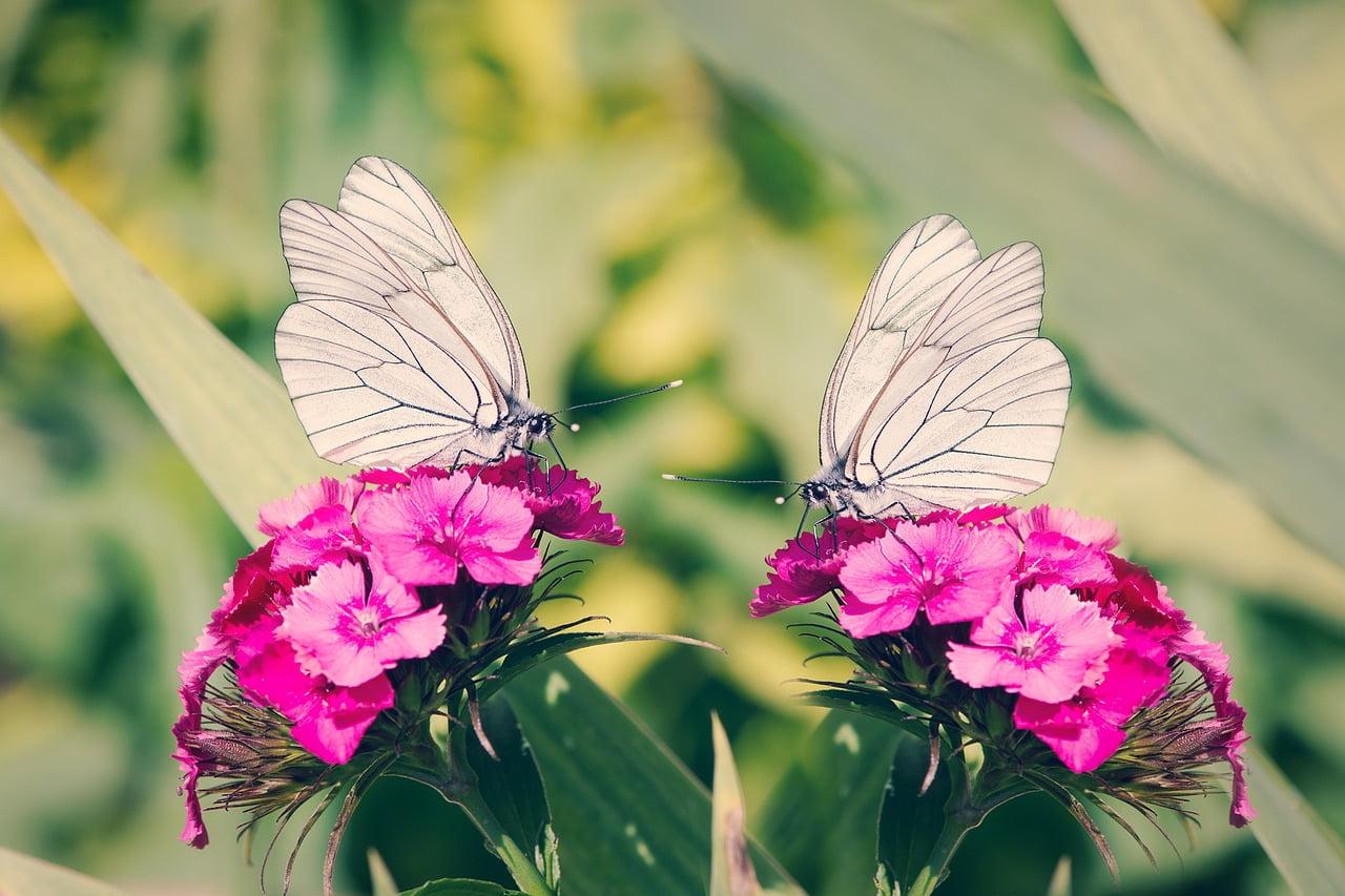 różowe goździki i dwa białe motyle