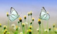 Dwa jasnoniebieskie motyle siedzące na kwiatkach